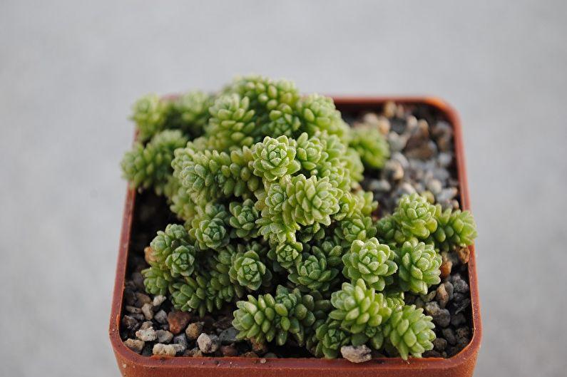 Espèces succulentes - Monantes