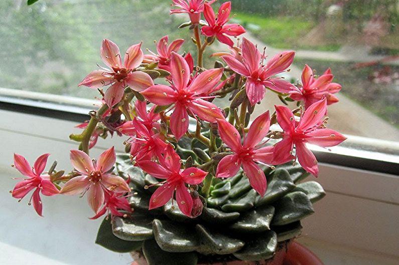 Espèces de plantes succulentes - Graptopetalum