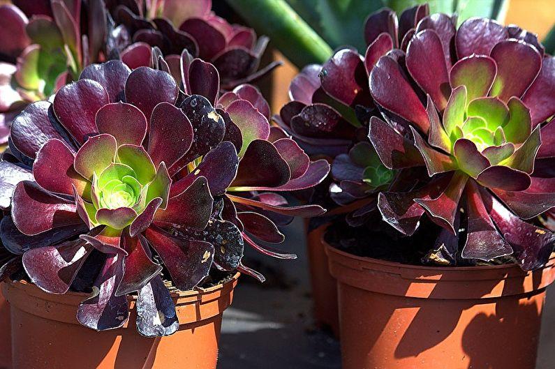 Espèces de plantes succulentes - Eonium