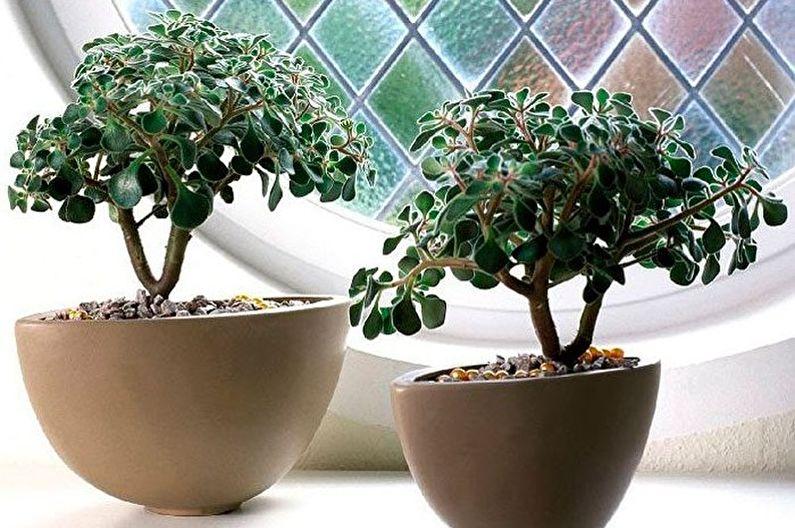 Espèces succulentes - Aichrizon