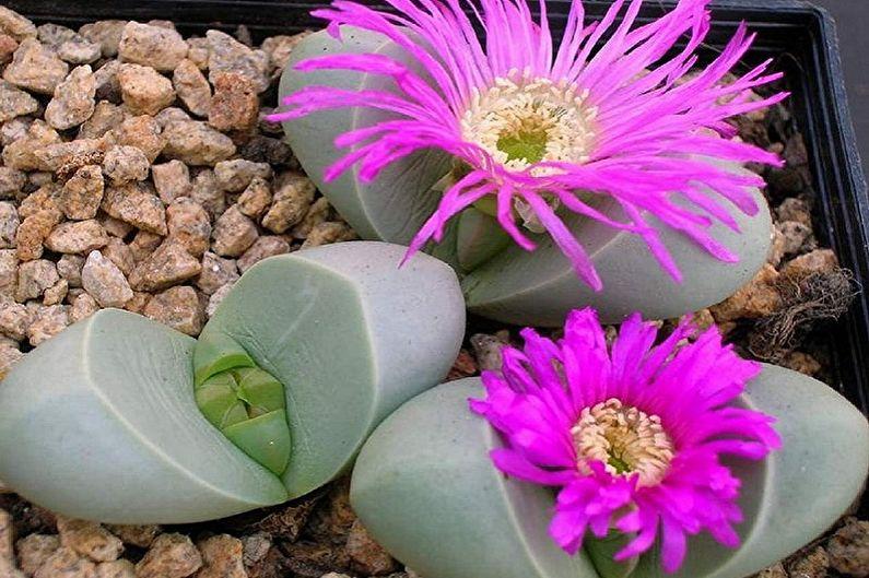 Espèces de plantes succulentes - Argyroderma
