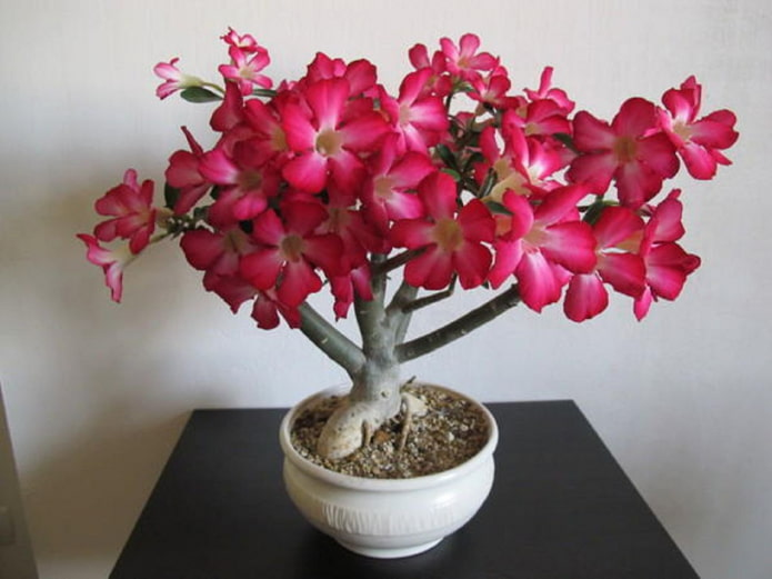 adénium en fleurs