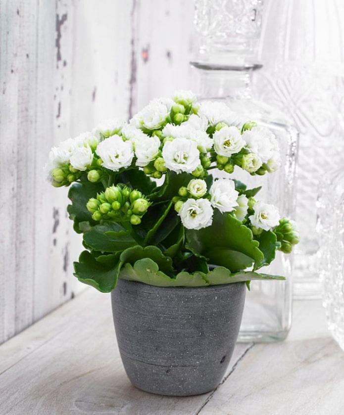 Kalanchoe en fleurs