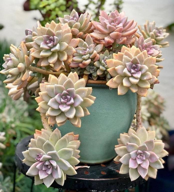 succulentes dans un pot