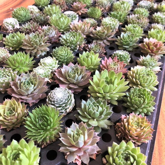 beaucoup de plantes succulentes