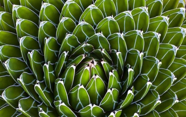 Succulentes.  Les feuilles triangulaires charnues de la reine Victoria Agave, jusqu'à 15 cm de long, sont bordées de blanc et forment une rosette régulière