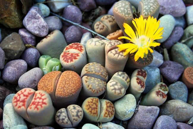 Succulentes.  Les lithops, en raison de feuilles réduites, ressemblent à des cailloux, des coraux ou des cailloux de mer