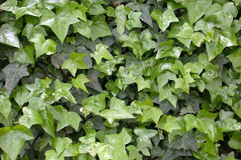Lierre commun - Plantes d'intérieur grimpantes, décoratives à petites feuilles