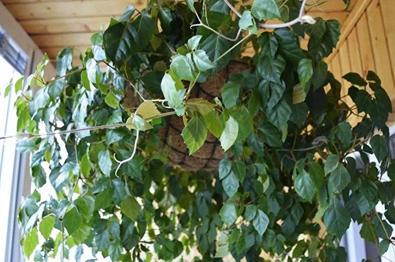 Cissus - Plantes d'intérieur grimpantes, décoratives à petites feuilles