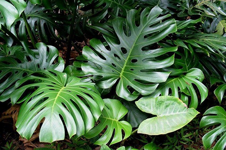 Monstera - Plantes d'intérieur grimpantes, décoratives à grandes feuilles