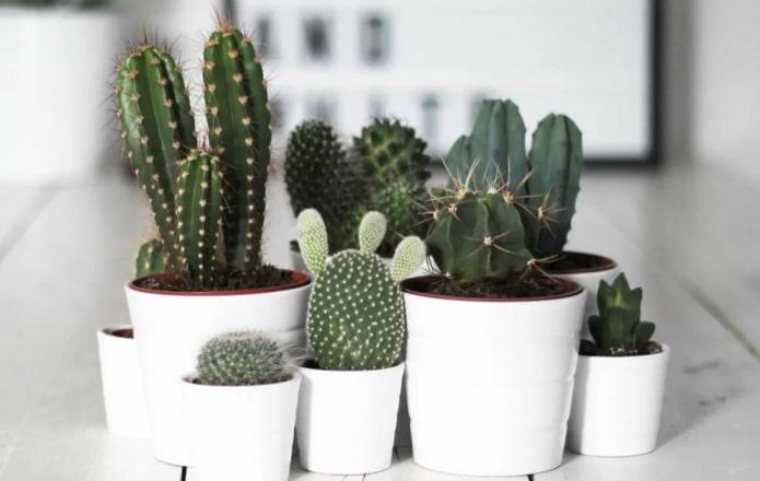 Cactus dans des pots blancs