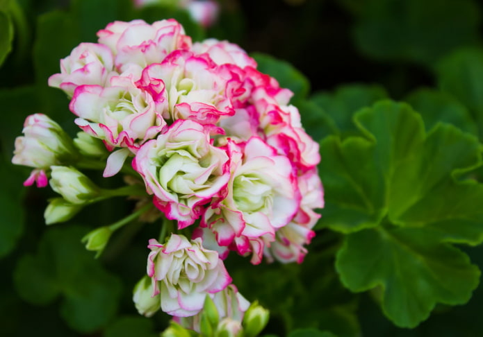 Pélargonium blanc avec bordure rose