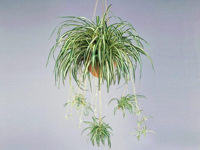 Chlorophytum dans une jardinière suspendue