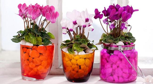 Beaux cyclamen multicolores