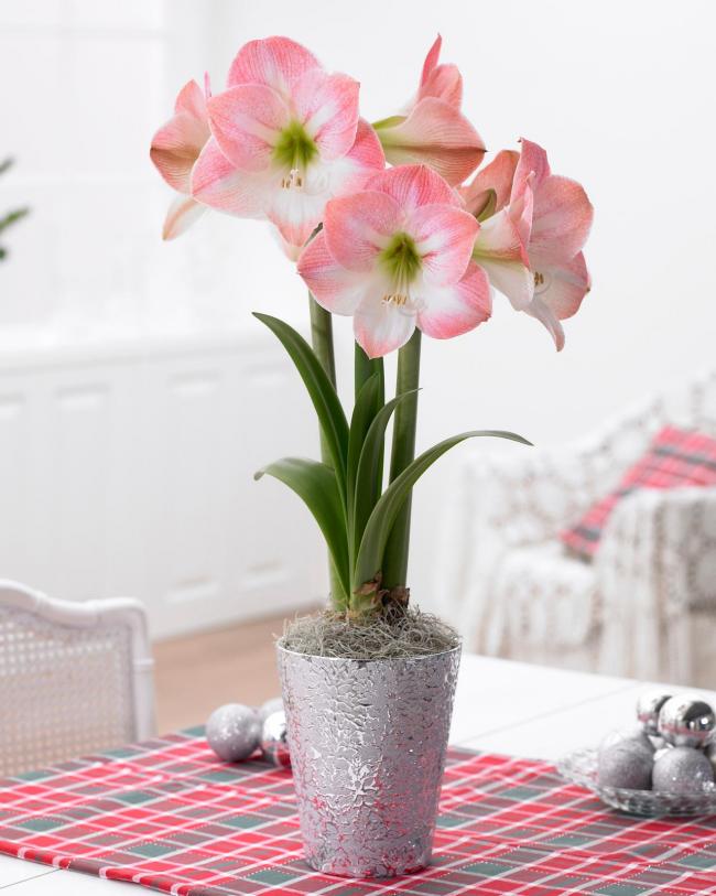 Grandes fleurs d'amaryllis