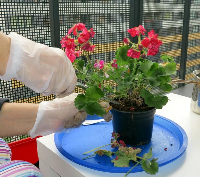 Il est préférable de prendre soin de la plupart des fleurs avec des gants.