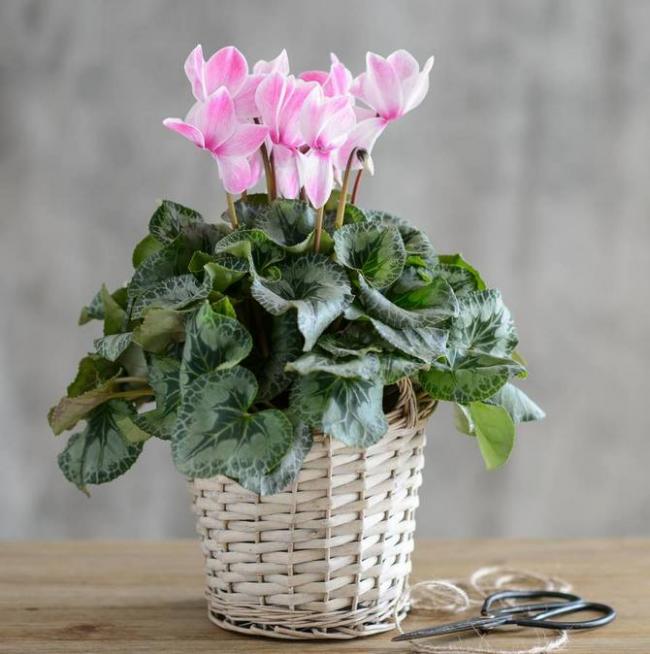 Fleurs de cyclamen délicates
