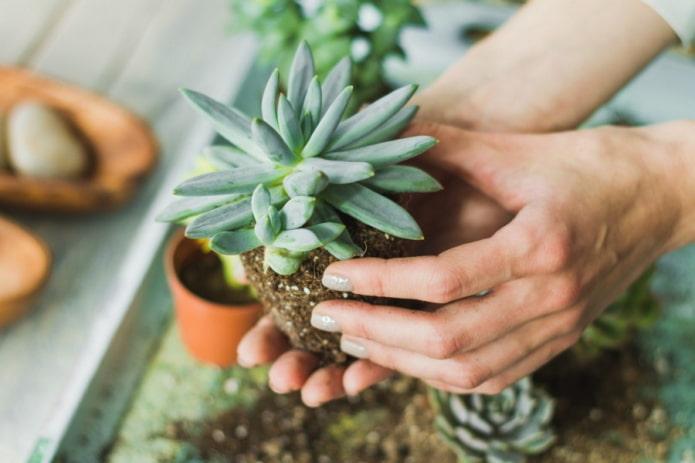 bébé succulent