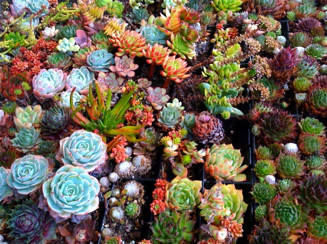 Succulentes.  Les plantes qui font partie du groupe des «plantes succulentes» sont très différentes, car elles ne sont pas liées par une origine commune, mais par des conditions d'habitat similaires