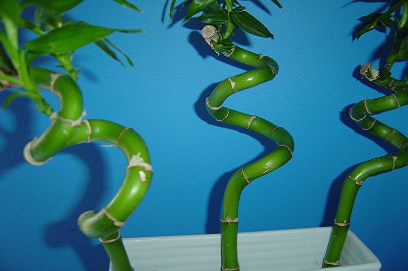 Entretien du bambou d'intérieur - Comment boucler une tige de bambou