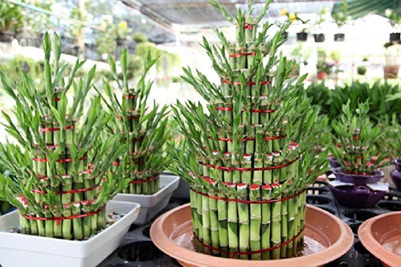 Soin du bambou d'intérieur - Engrais et alimentation