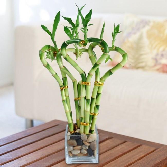 Le bambou d'intérieur n'est pas une plante ornementale fantaisiste