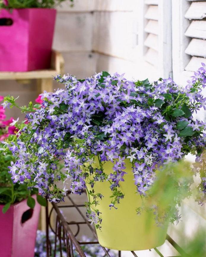 Campanule violette