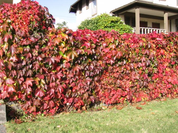 raisins décoratifs dans le jardin