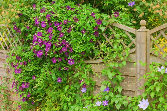 décoration de la clôture avec des clématites