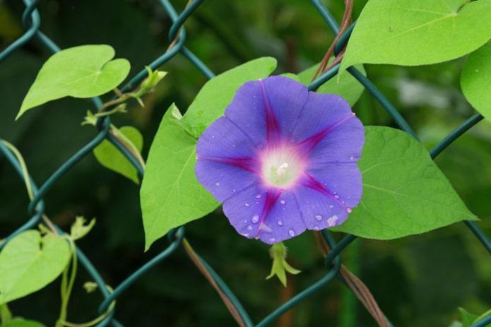 fleurs de gloire du matin