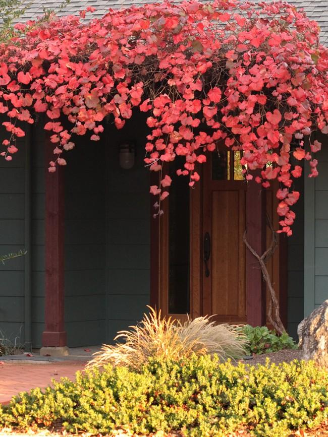 """Cépages sauvages de Californie """"Le rouge de Roger""""tressage du porche"""
