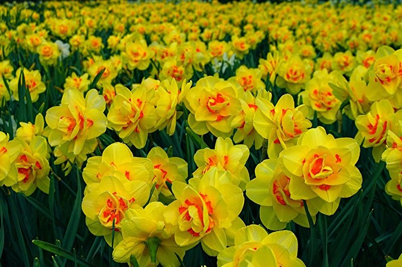 Fleurs vivaces pour une résidence d'été et un jardin - Jonquilles