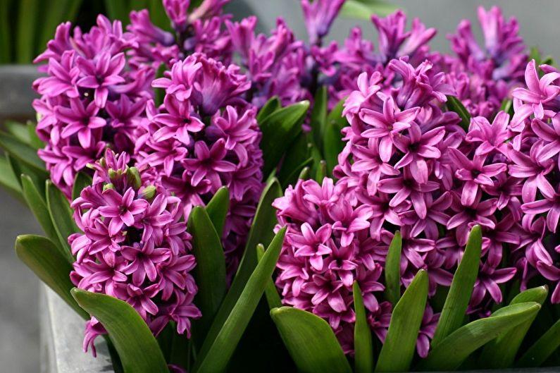 Fleurs vivaces pour chalets et jardins - Jacinthes