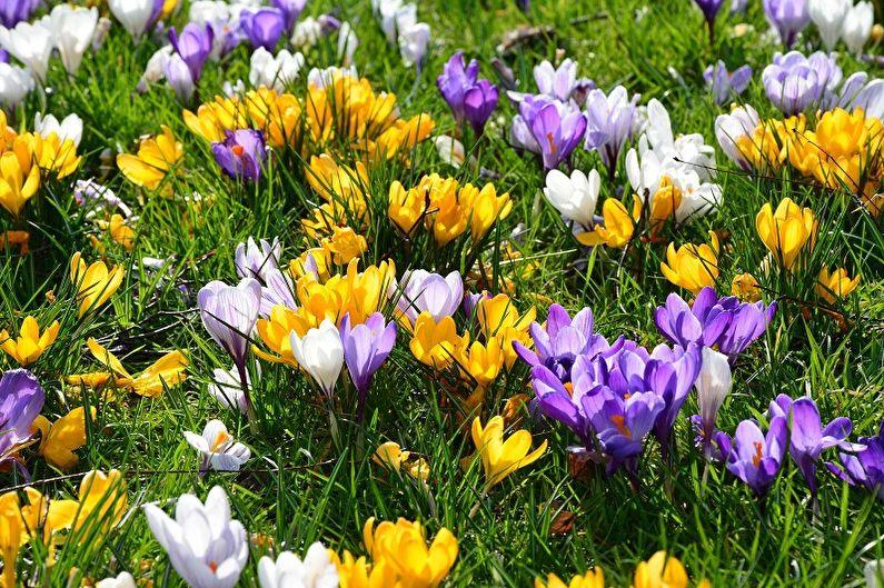 Fleurs vivaces pour une résidence d'été et un jardin - Crocus