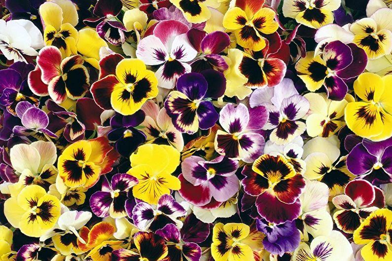 Fleurs vivaces pour une résidence d'été et un jardin - Pensées