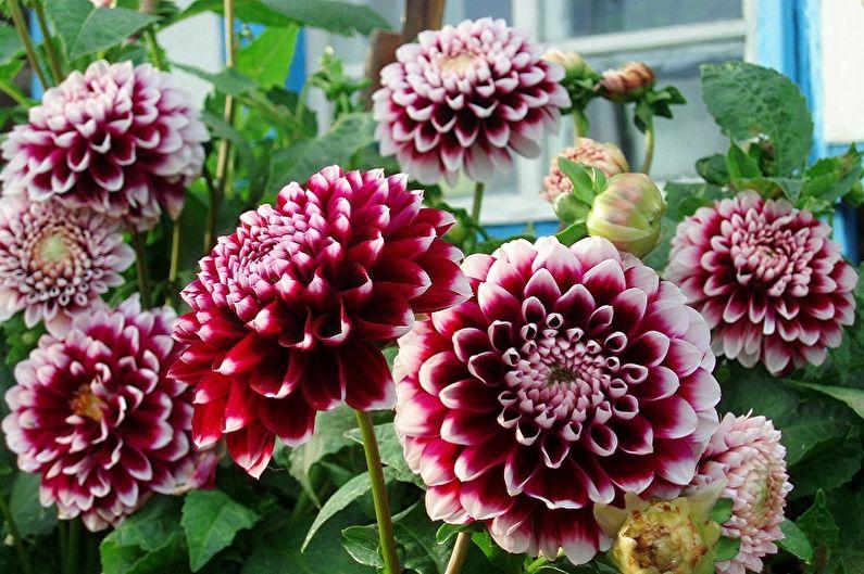 Fleurs vivaces pour une résidence d'été et un jardin - Dahlias