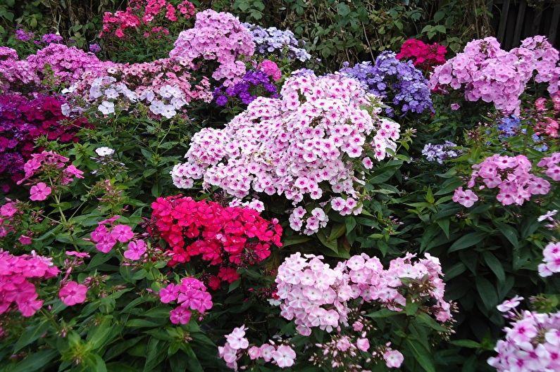 Fleurs vivaces pour une résidence d'été et un jardin - Phlox