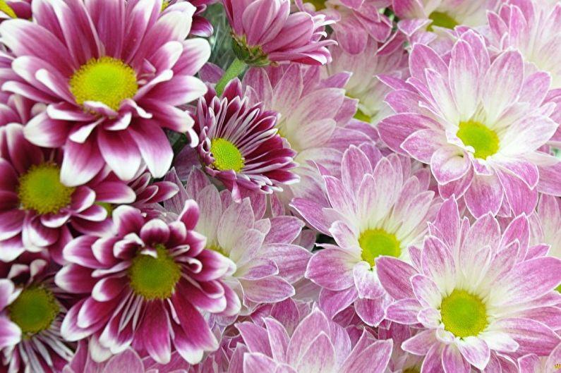 Fleurs vivaces pour une résidence d'été et un jardin - Chrysanthèmes