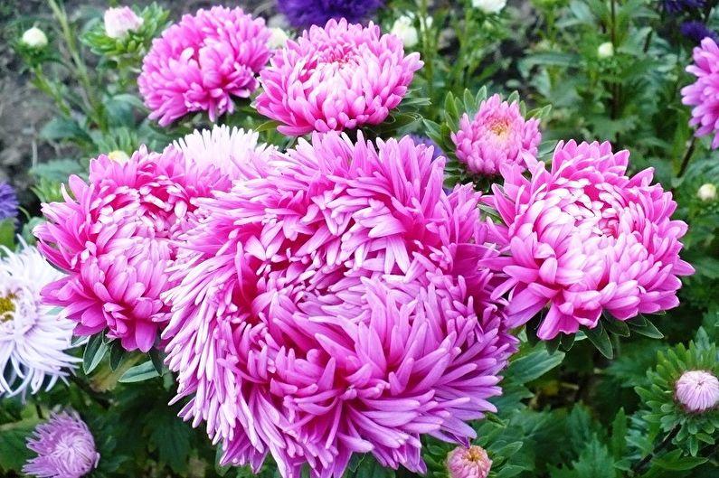 Fleurs vivaces pour une résidence d'été et un jardin - Asters
