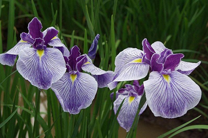 Fleurs vivaces pour une résidence d'été et un jardin - Iris