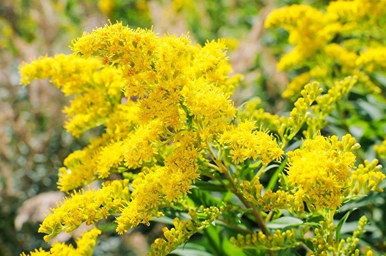 Fleurs vivaces pour chalets et jardins - Verge d'or