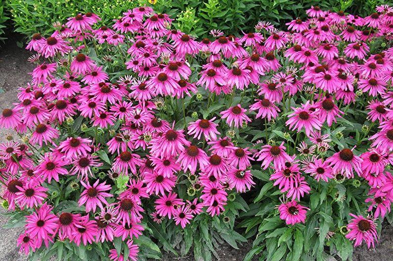 Fleurs vivaces pour une résidence d'été et un jardin - Echinacea