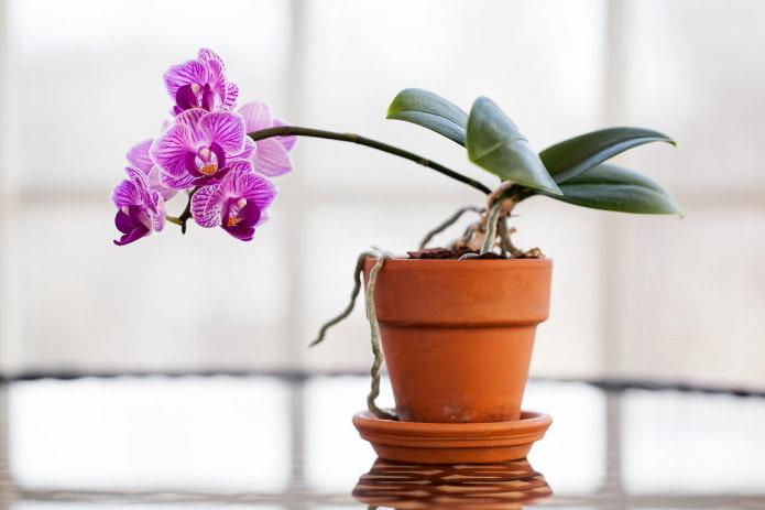 orchidée pour l'ombre