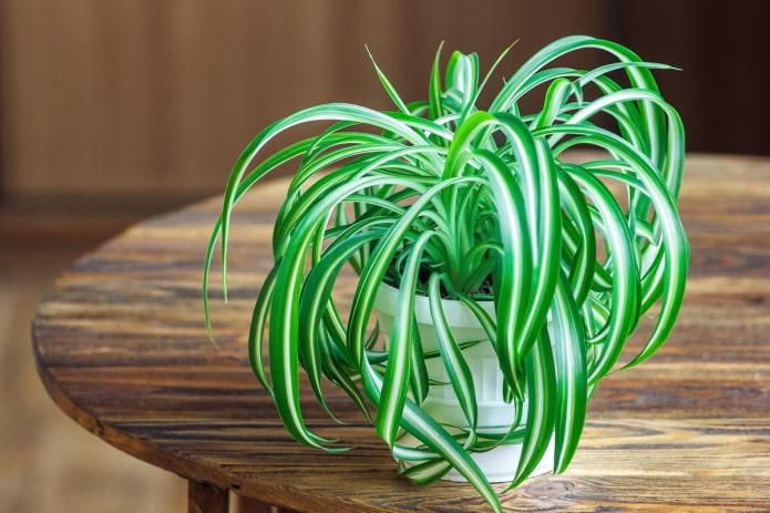 chlorophytum pour la maison