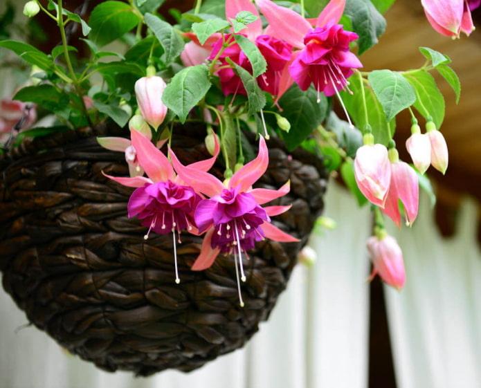 comment le fuchsia fleurit