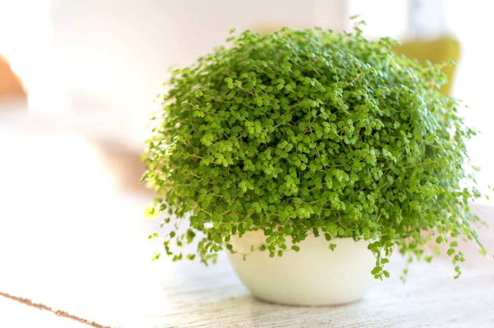 plante d'intérieur à petites feuilles