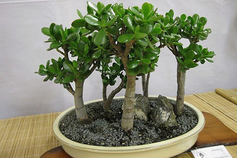 Types d'arbre d'argent - Femmes grasses ressemblant à des arbres