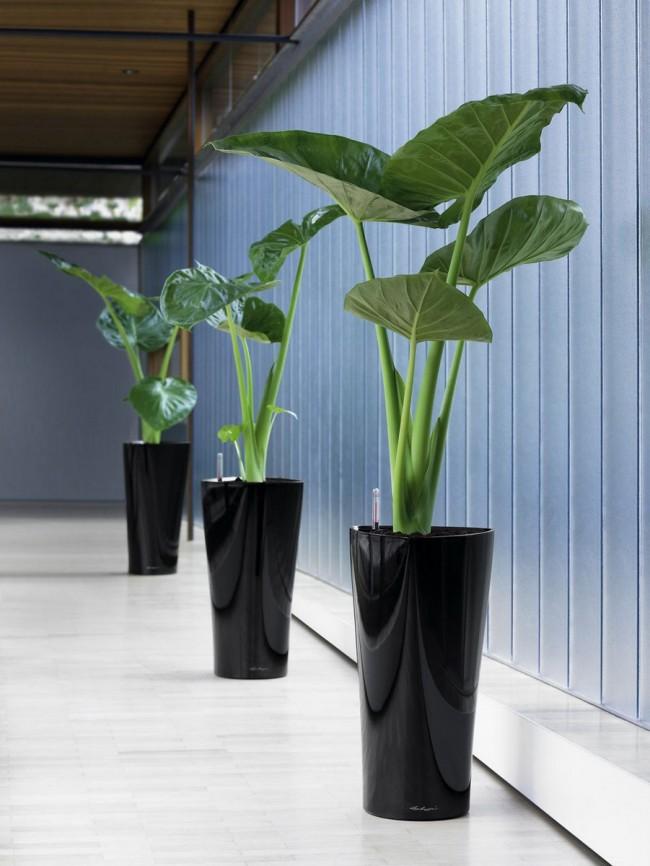 Alocasia de plante tropicale - toxique pour l'homme