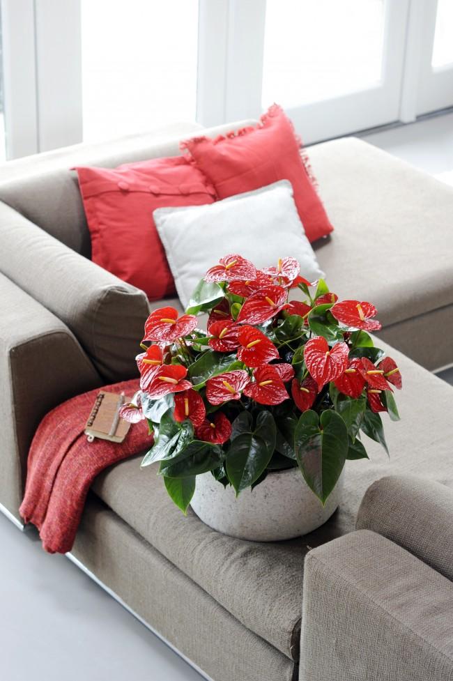 Anthurium rouge vif.  Toxique, gardez-le hors de portée des enfants et des animaux