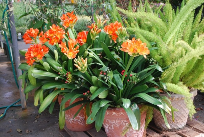 Le jus de Clivia, comme un certain nombre d'autres fleurs de la famille des Amaryllidacées, contient l'alcaloïde licorine